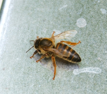 New queen bee on hive roof